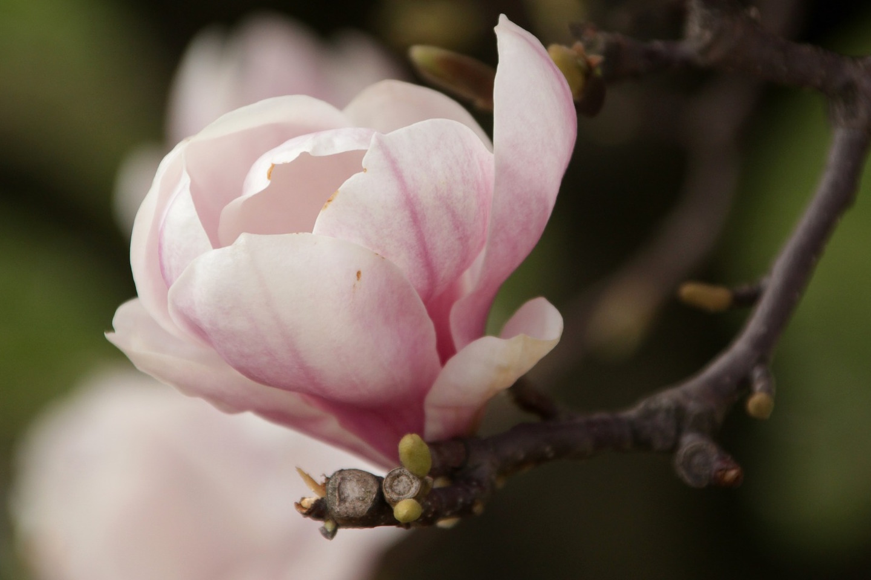 magnolias-zugeschnitten